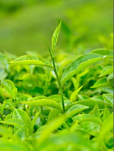 Organic tea processing technology.png